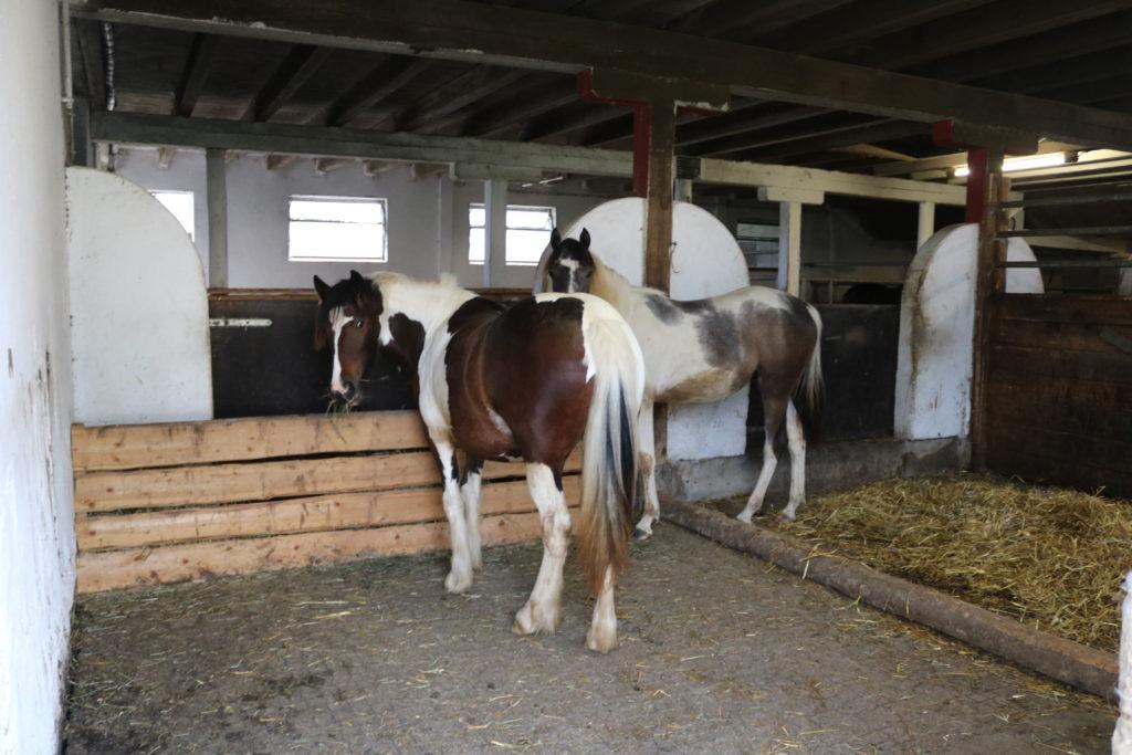 Pferde im Offenstall mit Weidenanschluss